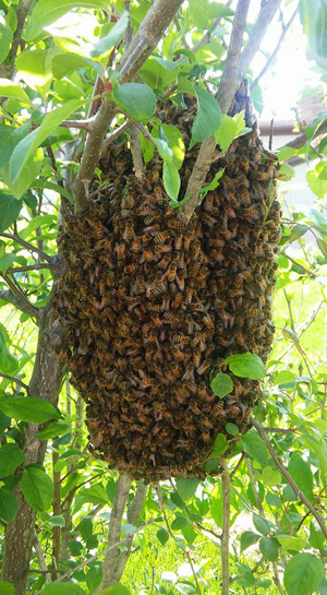 Honey-Bee-Swarm