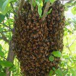 SOUTHWEST HONEY COMPANY TALKS ABOUT WHAT TO DO IF YOU SEE A BEE SWARM