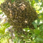 Southwest Honey explains bee swarms